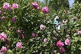 Gardens_Roses_165x110.jpg